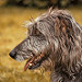 Merida - Irish Wolfhound