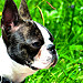 Boston Terrier 7month old