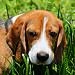 Cooper the Beagle