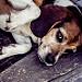 Sleepy Beagle.