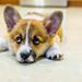 Korra - corgi puppy