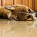 Korra -corgi puppy