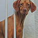 Sariah - female Hungarian Vizsla