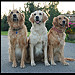 3 Golden Retrievers