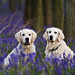 Dogs among the bluebells