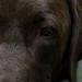 William ( Will ), mon Labrador 1