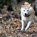 The running Shiba Inu