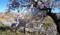 Almond blossom time.