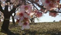 Almond blossom. Early Spring.