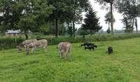 Sheep and donkeys