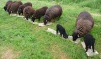 Feeding time for sheep on the farm in France